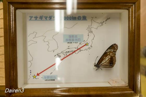 2,000km飛翔のアサギマダラ標本