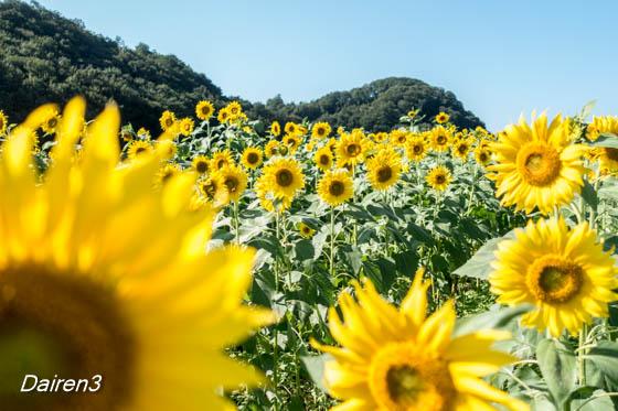 笠懸町ひまわりの花畑祭り