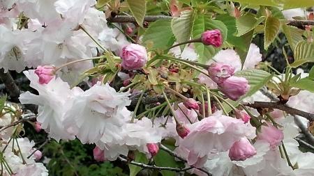 16-4-25八重桜?