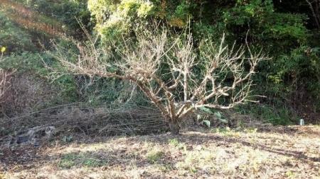 16-10-23柿の木後