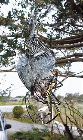 クモが鳥を食べるno1