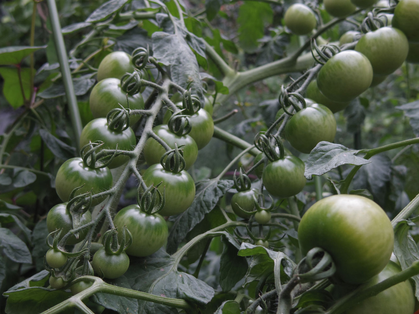 tomato20160615.jpg