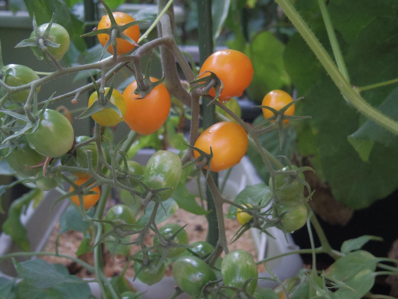 tomato201607151.jpg