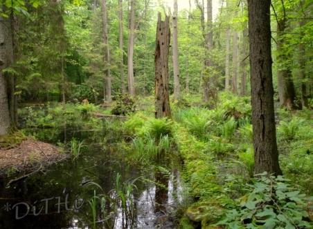 ビャウォヴィエジャの森 水源