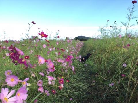コスモスと耳成山