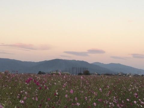 三輪山とコスモス