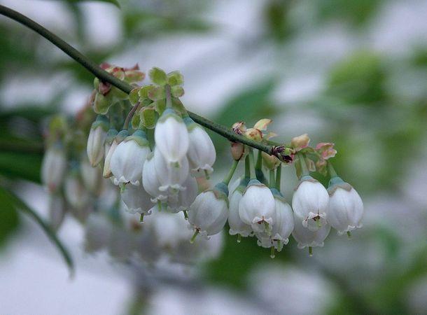 ブルーベリーの花1