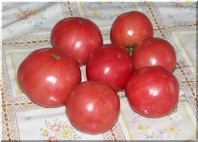 今朝、トマトの収穫