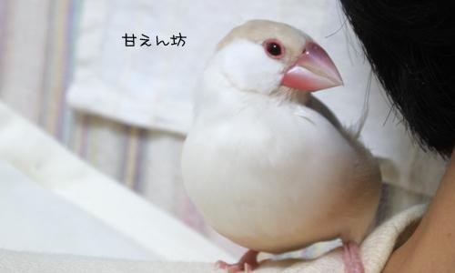 文鳥顔 & 眠たい顔_3