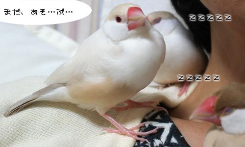 文鳥顔 & 眠たい顔_4