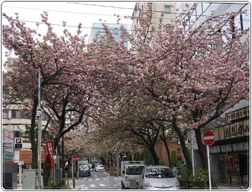 2016-4関内桜通り1
