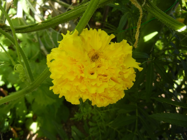 marigold160731.jpg