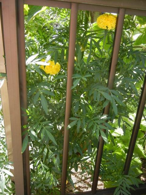 marigold160731a.jpg
