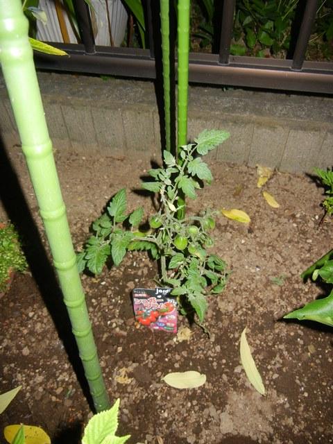 tomatosugarplum160526.jpg