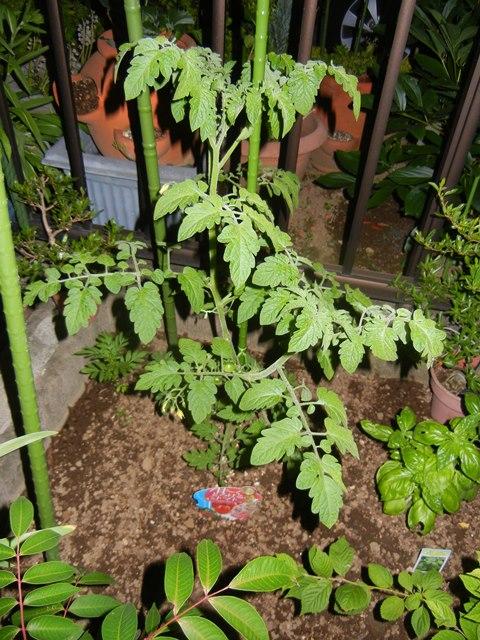 tomatotsuya160526.jpg