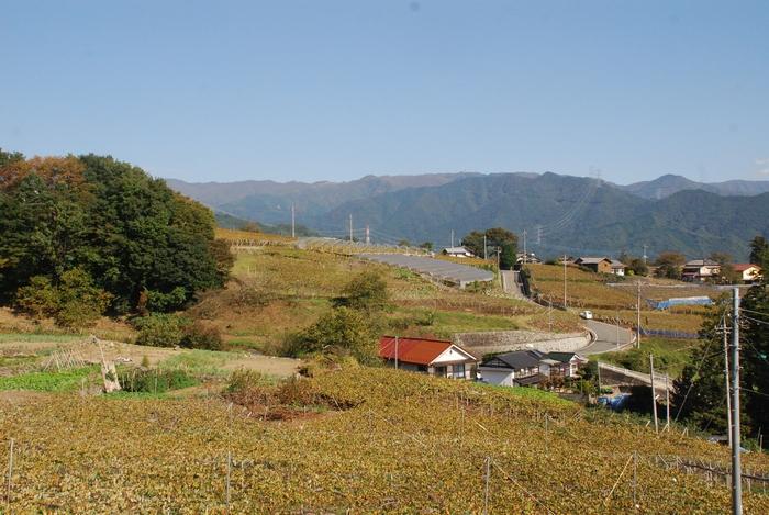 黄葉の葡萄棚の風景8