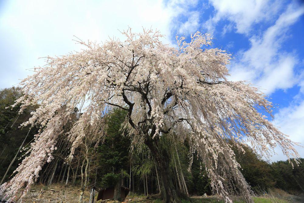 3 梓川釈迦堂のシダレ