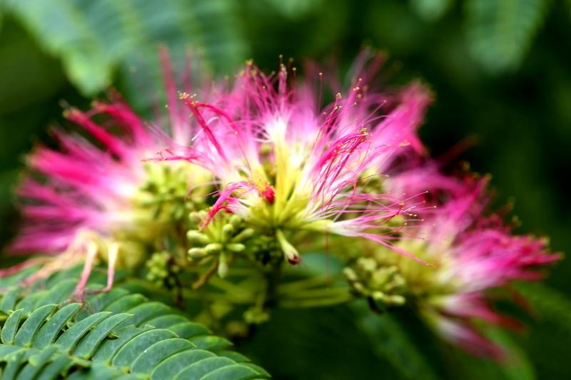 ネムノキの花4F6A7616fc