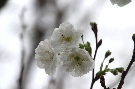 IMG_8736kofukusakura.jpg