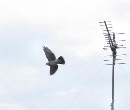 朝の鳩 009