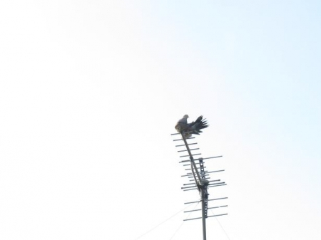 17日朝・月と鳩 036