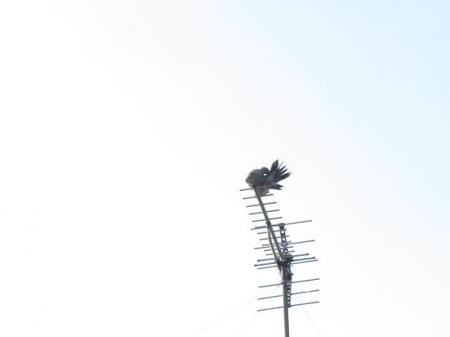 17日朝・月と鳩 035