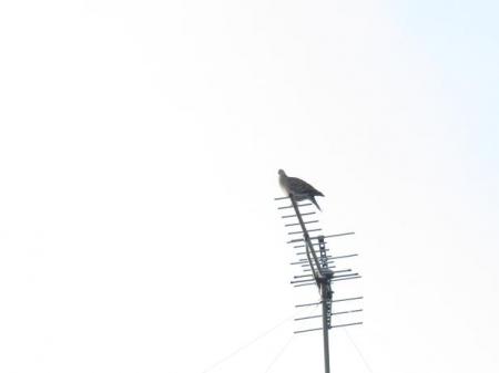 17日朝・月と鳩 034
