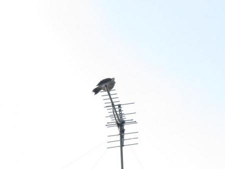17日朝・月と鳩 033