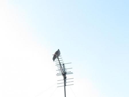 17日朝・月と鳩 060
