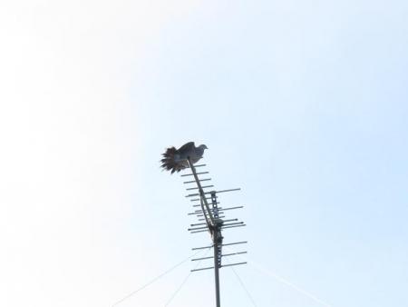 17日朝・月と鳩 058