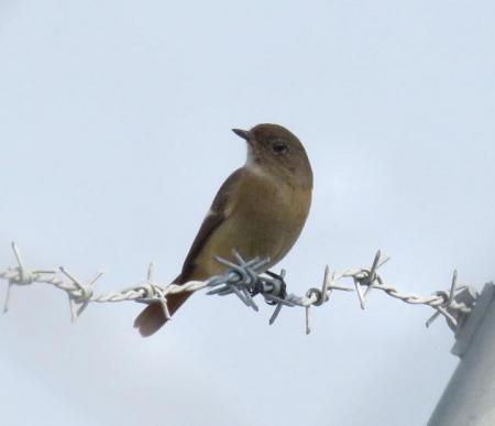大川の紋付鳥 069