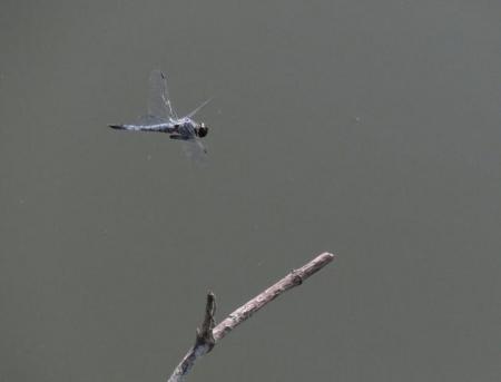 大川の紋付鳥 004
