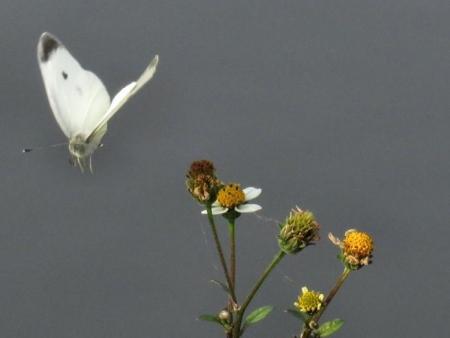 大川の紋付鳥 079