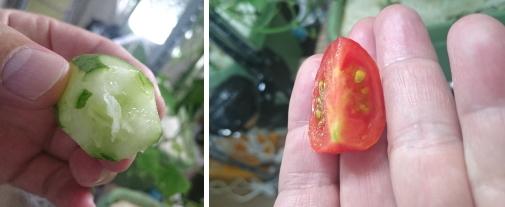 キュウリとプチトマト