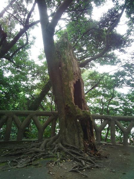 古木に寄り添う新木