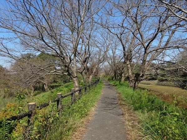 20161103福岡堰 (10)