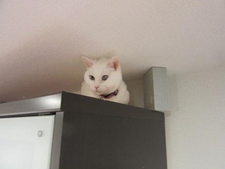 キッチンボードの上のふきちゃん1