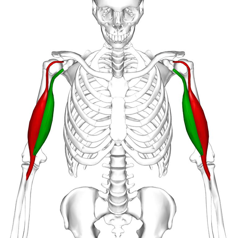 768px-Biceps_brachii_muscle06.png