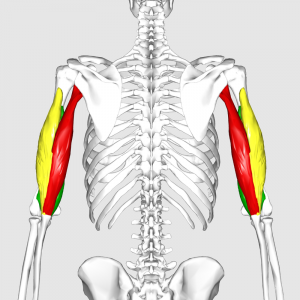 800px-Triceps_brachii_muscle06.png