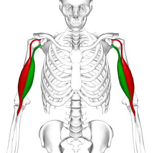 Biceps_brachii_muscle06.png