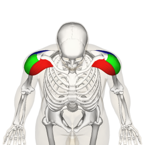 Deltoid_muscle_top2.png