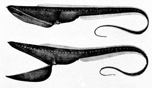 Eurypharynx_pelecanoides.jpg