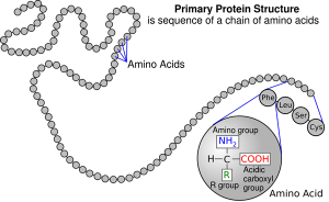 Proteinprimarystructure.png