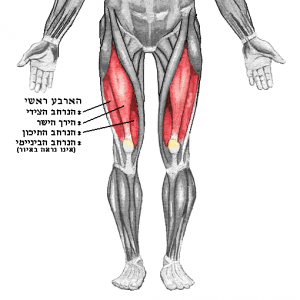 Quadriceps_hes_20161029082932697.png
