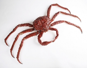 The_Childrens_Museum_of_Indianapolis_-_Alaskan_red_king_crab.jpg