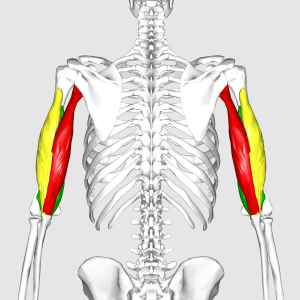 Triceps_brachii_muscle06.png