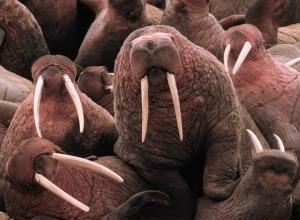 pacific-walruses-913165_960_720.jpg