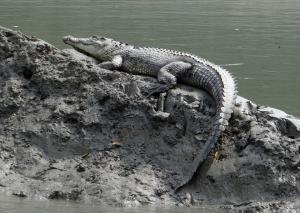 saltwater-crocodile-1226591_960_720.jpg