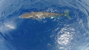 sperm-whale-1629484_960_720.jpg