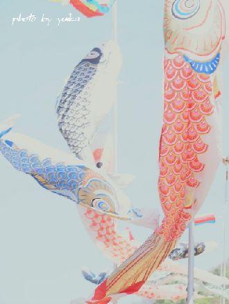 鯉のぼり505-C